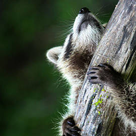 Amanda Stadther - Raccoon Kits