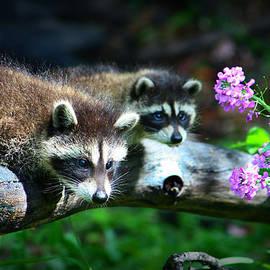 Amanda Stadther - Raccoons