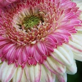 Bruce Bley - Radiant Pink
