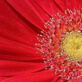 Bruce Bley - Radiant Pink Gerber Daisy