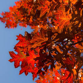 Georgia Mizuleva - Radiant Reds - Fall Oak Leaves and Brilliant Blue Sky