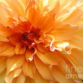 Carol Groenen - Radiating Orange Dahlia