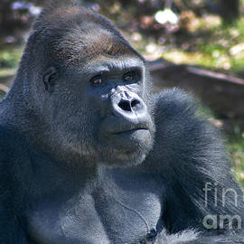 Gary Gingrich Galleries - Rah-Dee in KC - Gorilla 270B