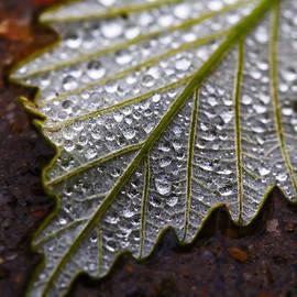 Steve Stephenson - Rain Drops on Silver Leaf