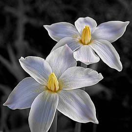 Shannon Story - Rain Lilies