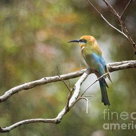 Kym Clarke - Rainbow Bee-eater