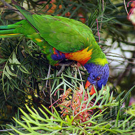 Rainbow Lorikeet VI