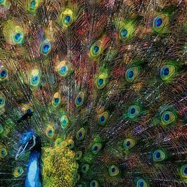 Liam Liberty - Rainbow Peacock