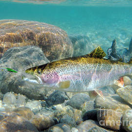 Rainbow Trout and Green Ghost