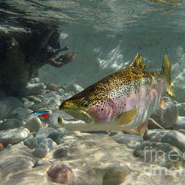 Rainbow Trout and wet fly