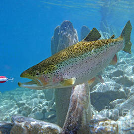 Rainbow Trout pursuing red and white spoon