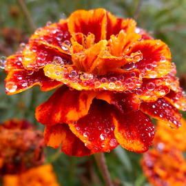 Diannah Lynch - Raindrops on Marigolds