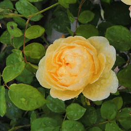 Jayne Wilson - Raindrops on Roses