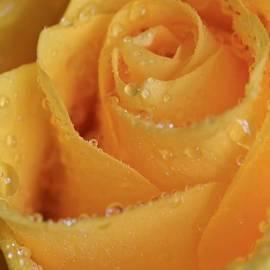 Tracy  Hall - Raindrops Rose