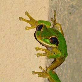 Alanna Dumonceaux - Rainforest Tree Frog