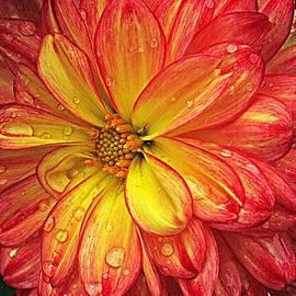 Monnie Ryan - Rainy Day Dahlia