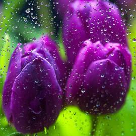 Jenny Rainbow - Rainy Tulips