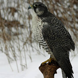 Inspired Nature Photography By Shelley Myke - rare Discovery Gyrfalcon in the Winter Snow