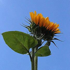 Photographic Art and Design by Dora Sofia Caputo - Reaching for the Sun - Sunflower