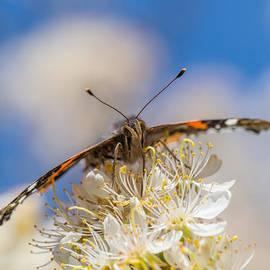 Steven Schwartzman - Red Admiral Butterfly on Plum Blossoms