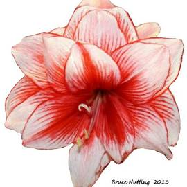 Bruce Nutting - Red Amaryllis