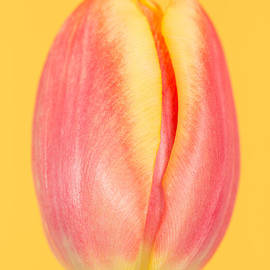 Mark Monckton - Red and Orange Tulip