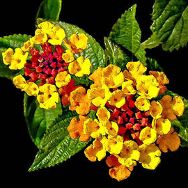 Bob and Nadine Johnston - Red and Yellow Lantana Flowers with Green Leaves