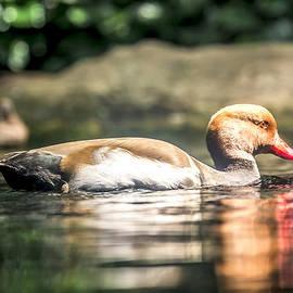Jijo George - Red Beak Duck