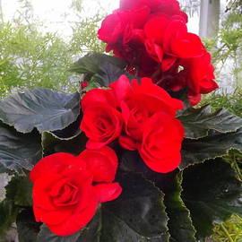Lingfai Leung - Red Begonia Bouquets