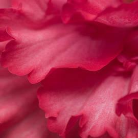 Priya Ghose - Red Begonia Petals