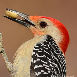 Kathy Baccari - Red Bellied Woodpecker Closeup