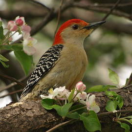 James Peterson - Red-Bellied Woodpecker