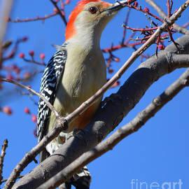 Ruth  Housley - Red Bellied Woodpecker