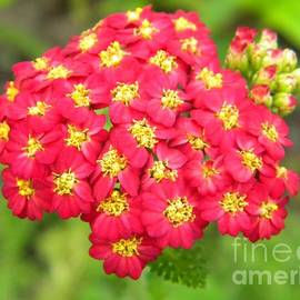 Jackie Burlingame - Red Butterfly Weed