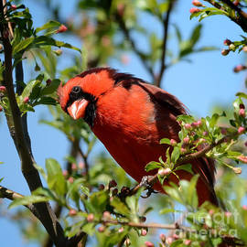 Nava Thompson - Red Cardinal in Springtime