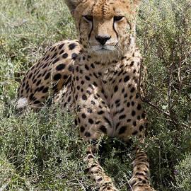 Chris Scroggins - Red Cheetah Portrait