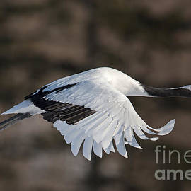 Natural Focal Point Photography - Red-Crowned Crane in Flight