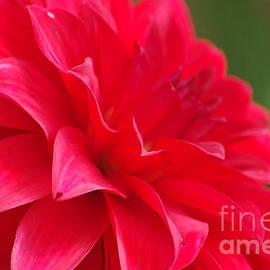 J M Lister - Red Dahlia Flower 02