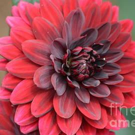 DejaVu Designs - Red Dahlia Flower