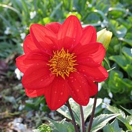 MTBobbins Photography - Red Dahlia