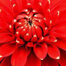E Faithe Lester - Red Dahlia with White Tips