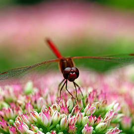 Debbie Oppermann - Red Dragon