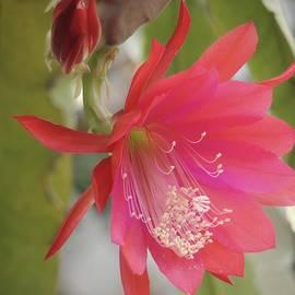Denise Clark - Red Epiphyllum Study