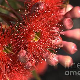 Joy Watson - Red Eucalyptus Flowers