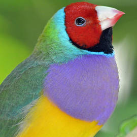 Richard Bryce and Family - Red Faced Gouldian Finch