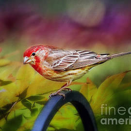 Darren Fisher - Red Finch