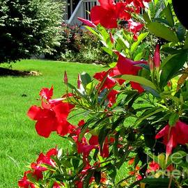 Gardening Perfection - Red Flowing Trumpets