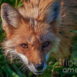 Bianca Nadeau - Red Fox