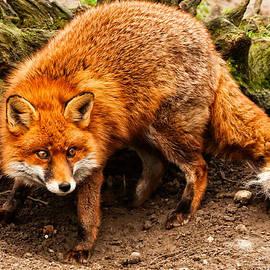 Ryan Ladbrook - Red Fox - digging - UK