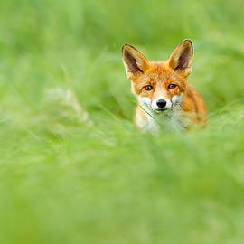 Roeselien Raimond - Red Fox in a Sea of Green